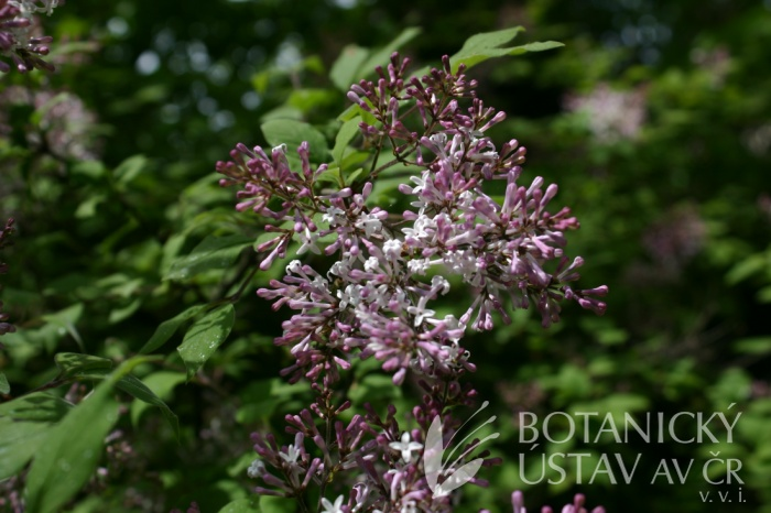Syringa julianae - šeřík julianin