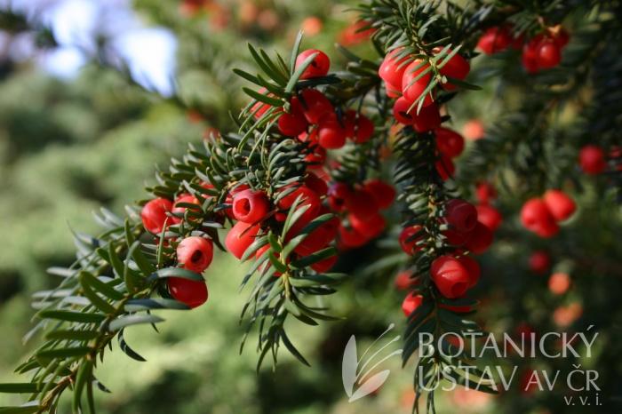 Taxus baccata - tis červený