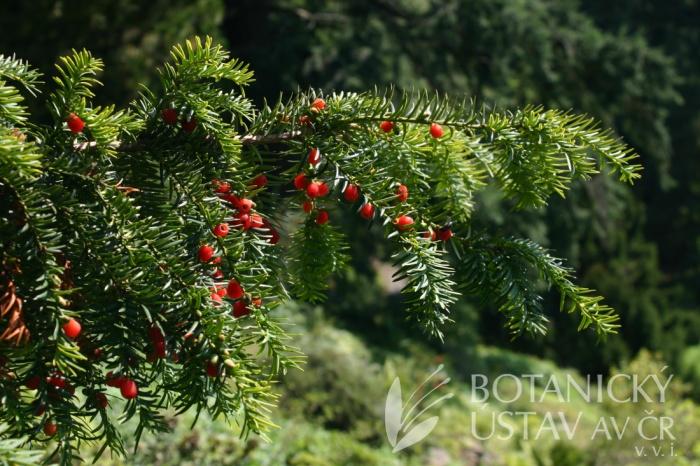 Taxus baccata 'Aurea' - tis červený