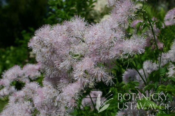 Thalictrum aquilegiifolium - žluťucha orlíčkolistá