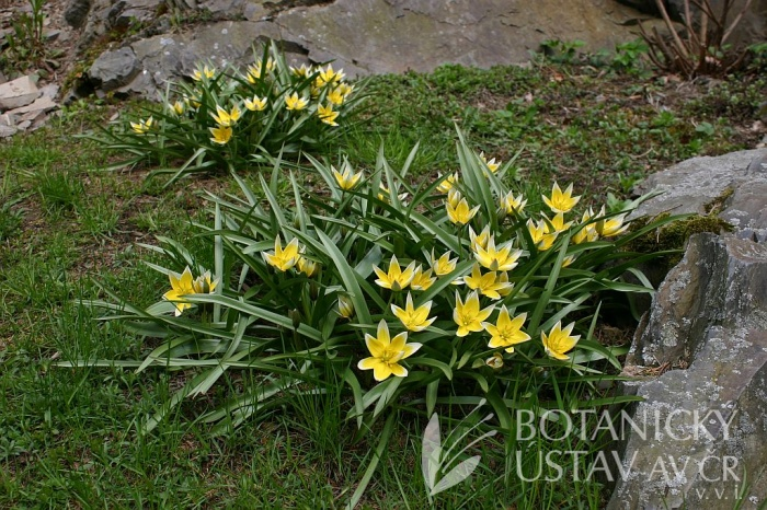 Tulipa tarda - tulipán pozdní