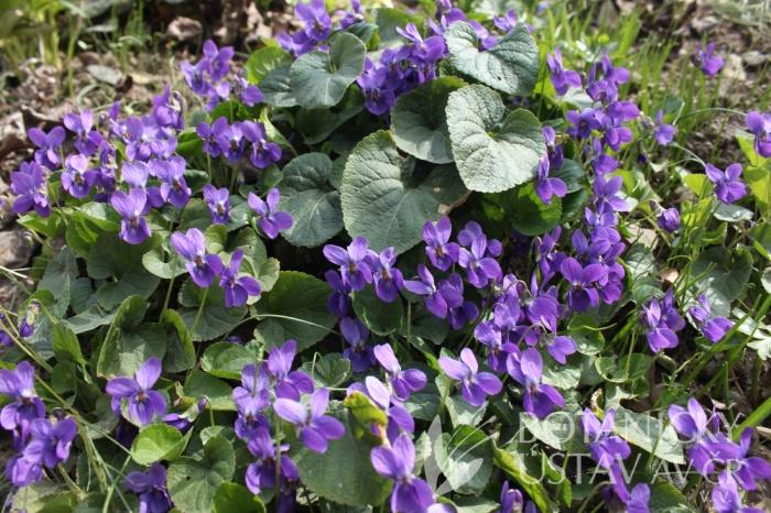 Viola odorata - violka vonná