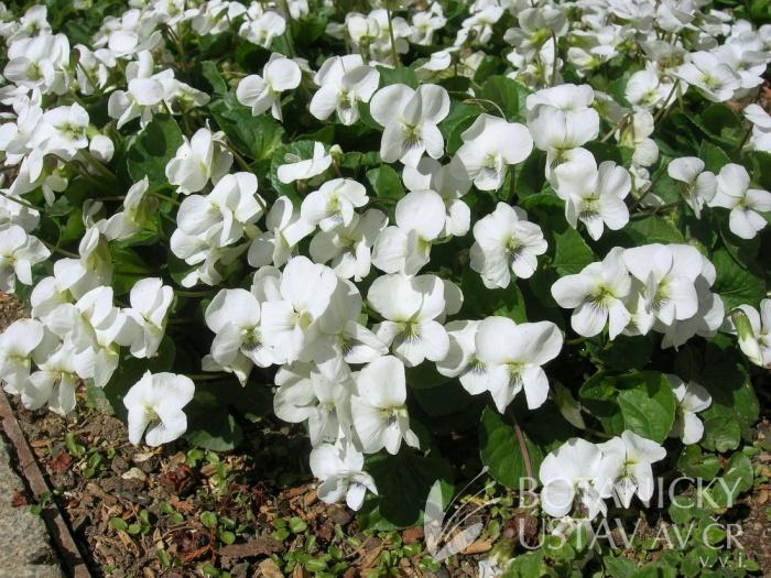 Viola sororia 'Albiflora' - violka floridská