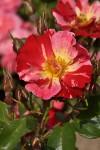 Výstava růží na zámku v Průhonicích