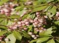 Arboretum I - Ericaceae