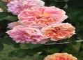 Anglické růže