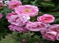 Mnohokvěté záhonové růže - multiflory a polyantky